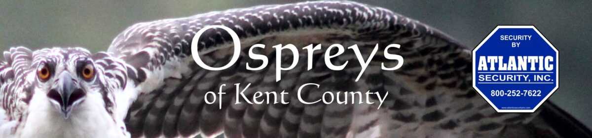 Ospreys Of Kent County MD